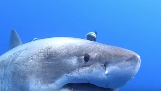 Great White Shark That's 8-Feet WIDE Spotted In Hawaii And Looks Like A Damn Submarine
