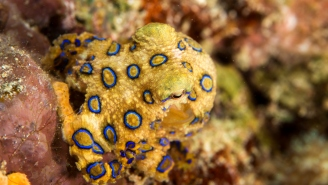 Tourist In Bali Unknowingly Holds Deadly Blue-Ringed Octopus With Enough Venom To Kill 26 Humans