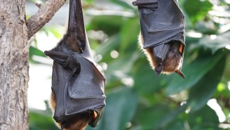 Humans Are Now At Risk Of Contracting Bat Flu As If The Zombie Deer Virus Wasn't Bad Enough