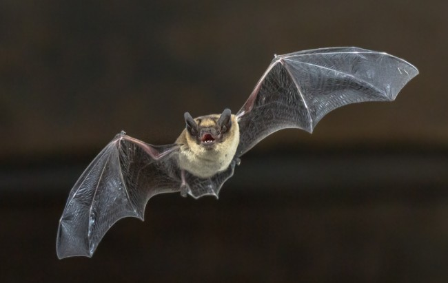 nba bat rabies