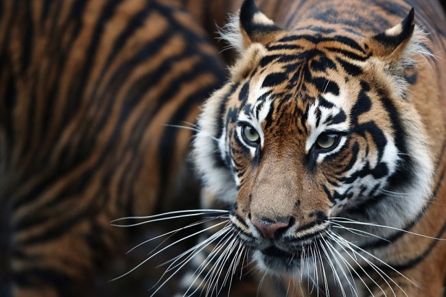 LONDON, ENGLAND - JANUARY 05:  A Sumatran Tiger walks through it's enclosure during the ZSL London Zoo's annual stocktake of animals on January 5, 2015 in London, England. The zoo's annual stocktake requires keepers to check on the numbers of every one of the 800 different animal species, including every invertebrate, bird, fish, mammal, reptile, and amphibian.  (Photo by Dan Kitwood/Getty Images)
