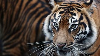New Sumatran Tiger Brought To London Zoo To Mate But Killed The Other Tiger Instead Of Having Sex In First Meeting