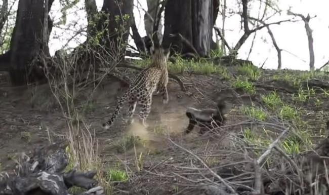 Honey Badger attacks leopard saves baby