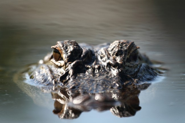 Water level view of a wild Alligator in Florida