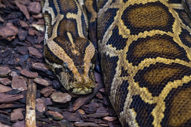 Black-tailed or tiger python close-up