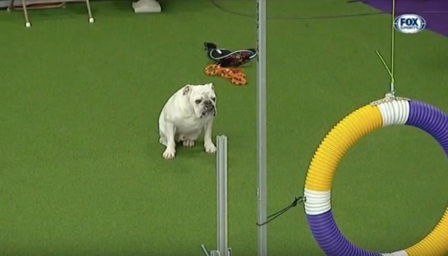 Rudy the Bulldog