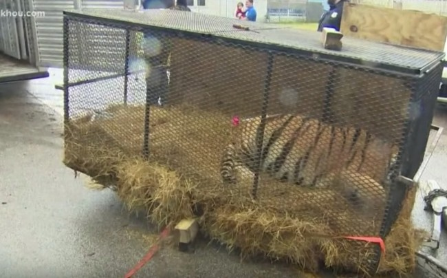 Abandoned tiger found in Houston