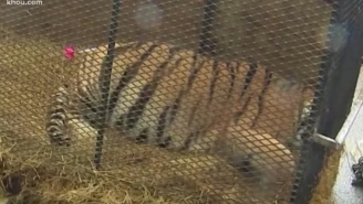Guy Breaks In To Abandoned House To Smoke Weed, Finds A Live Tiger, Thought He Was Hallucinating