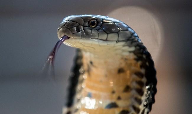 A King Cobra versus a Reticulated Python