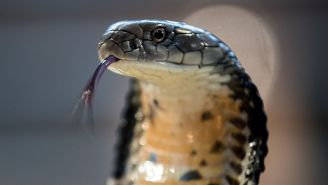 King Cobra And Giant Python Literally Fight To The Death Of Both Lethal Snakes