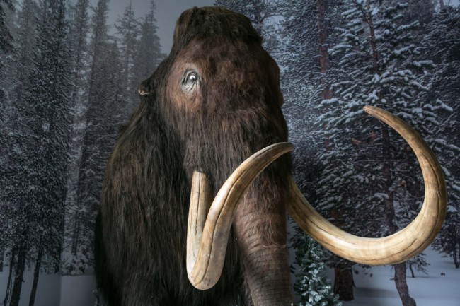 Scientists Revive 28,000-Year-Old Woolly Mammoth Cells in Mice