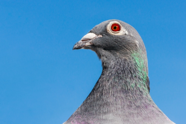 Portrait of a racing or homing pigeon looking into the camera.
