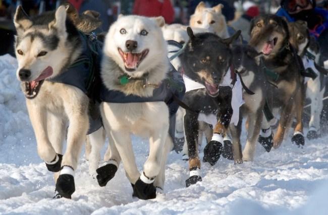 Iditarod Dog Sledding Race Alaska Racing Dogs