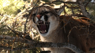 Autopsy Of Mountain Lion Killed By Bare Hands Of Jogger Reveals Lion Was Orphaned Kitten
