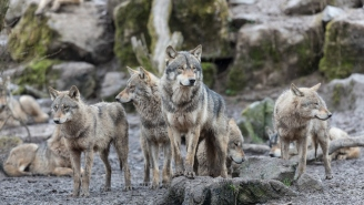 Four Canadian Wolves Were Airdropped Into The U.S. To Kill Overpopulated Moose