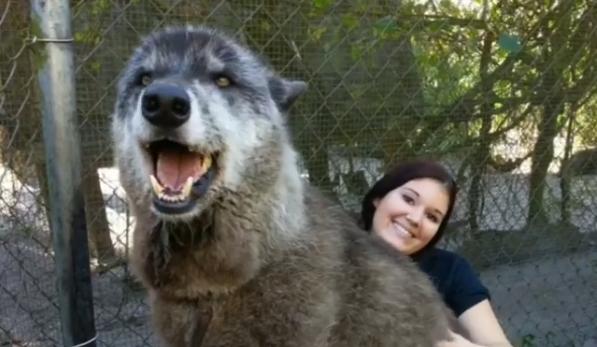 yuki wolfdog