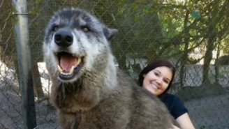 Yuki The Rare Wolfdog Hybrid Goes Viral Because He Is So Big That People Think He Is Fake