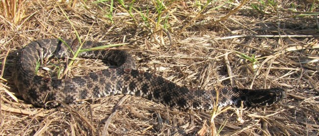 pigmy rattlesnake florida killed by parasitic worms