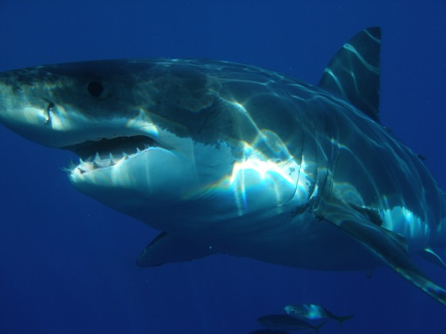 Scientists Put Cameras on Sharks to Watch Them Hunt Seals in a Kelp Forest