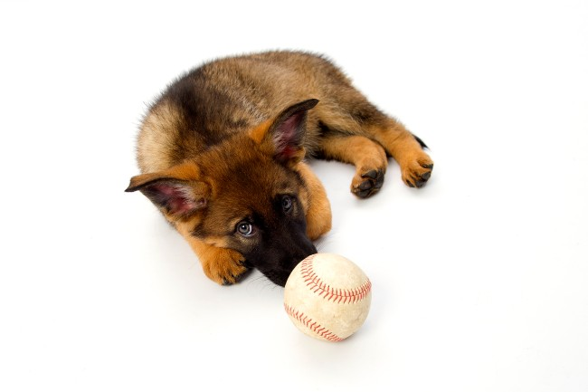German shepherd puppy and baseball