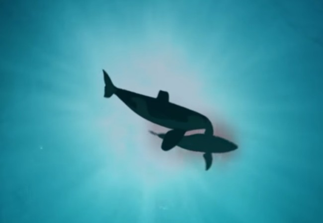 Great white sharks are afraid of orca killer whales