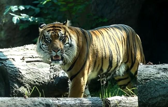 Sumatran Tiger Sanjiv attacks worker at Topeka Zoo