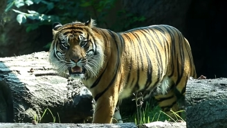 Zoo Worker In Critical Condition After Sumatran Tiger Attack