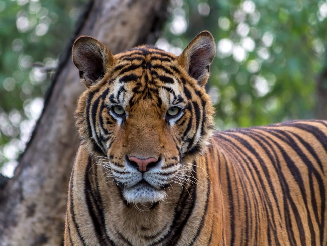 Bengal tiger attacks former Las Vegas illusionist at Arizona wildlife sanctuary
