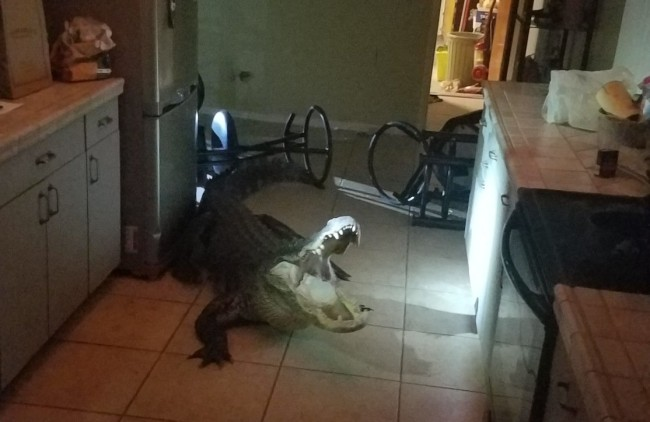 11-foot alligator breaks into home in Clearwater, Florida
