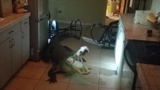 11-Foot Alligator Smashes Window, Breaks Into Florida Home And Goes For The Wine