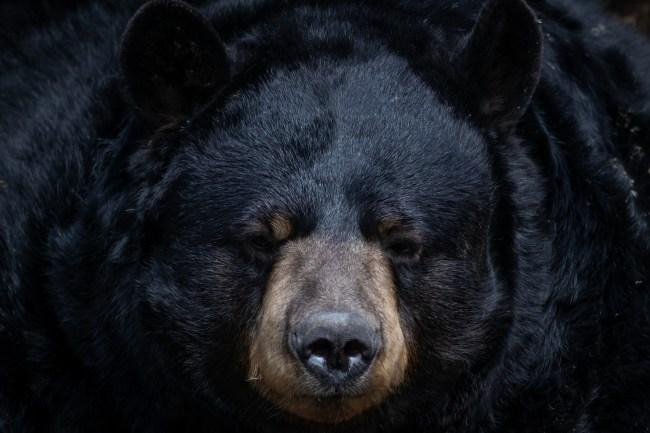 Black Bear absolute unit