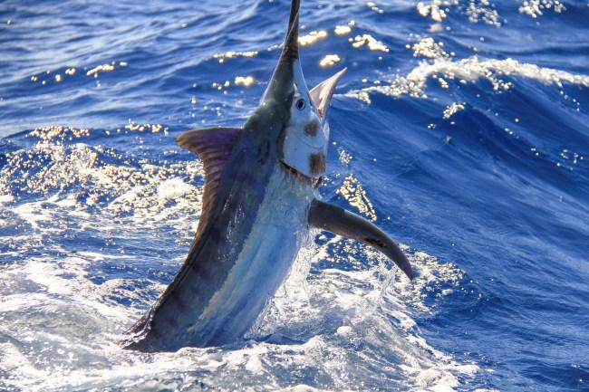 black marlin fishing