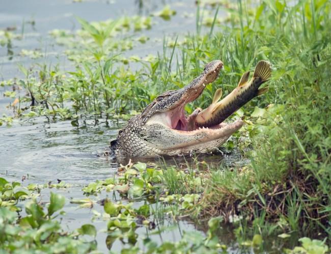 Florida alligator eating fish