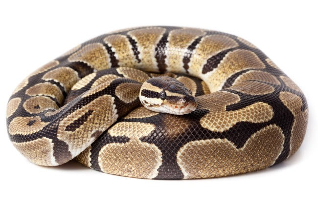 A Florida man in Coral Springs got the bite of his life after finding a python in the toilet of his bathroom.