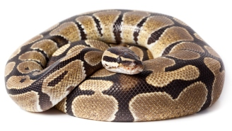 Florida Man Suffers Real-Life Nightmare As Python Slithers Out Of Toilet And Bites Him
