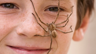 Couple Finds A Huntsman Spider The Size Of A Frisbee Eating An Entire Possum And We Need To Burn It With Fire