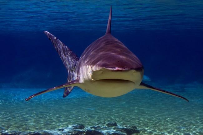 gray whaler shark
