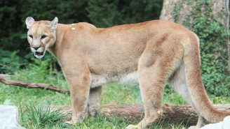 Someone Explain To Me How This Mountain Lion Ran Off After Getting Drilled Into Orbit By Passing Car, Destroying It