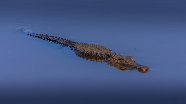 American alligator swimming in Sugar Land lake near Houston, Texas.