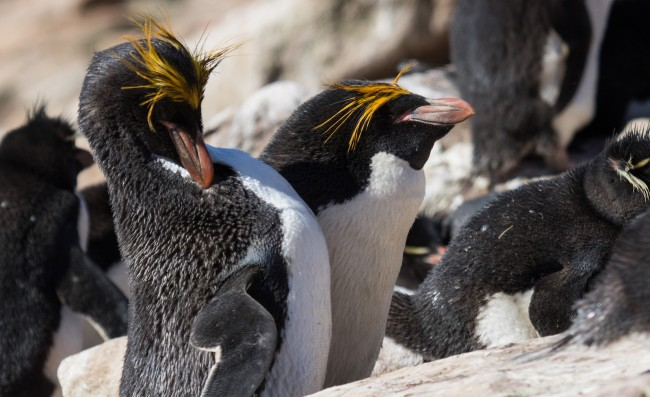 Macaroni penguin pair with rockhoppers