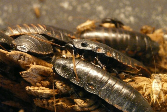 cockroaches becoming resistant to insecticides