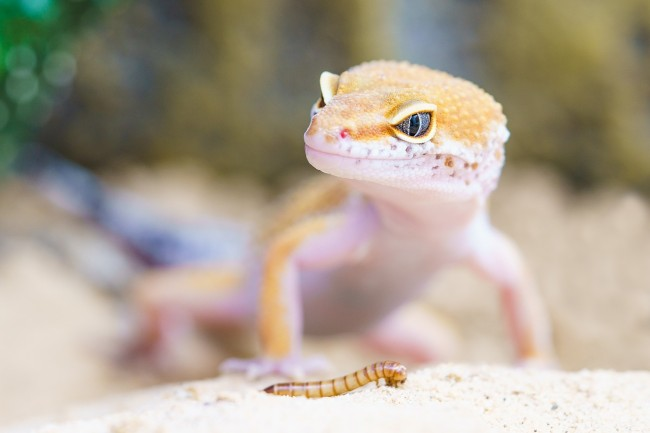 Australian man dies after eating a gecko as part of a party dare and it rotted him from the inside and his testicles were swollen before his death.