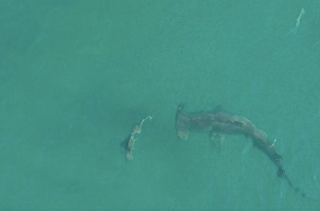 giant hammerhead shark eats blacktip shark