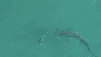 Giant Hammerhead Shark Hunts Just Feet Off The Beach And Destroys A Blacktip Shark In Wild Footage