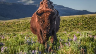 Massive Bison Angrily Charges At Little Girl And Sends Her Into Orbit While Coward Parents Head For The Hills