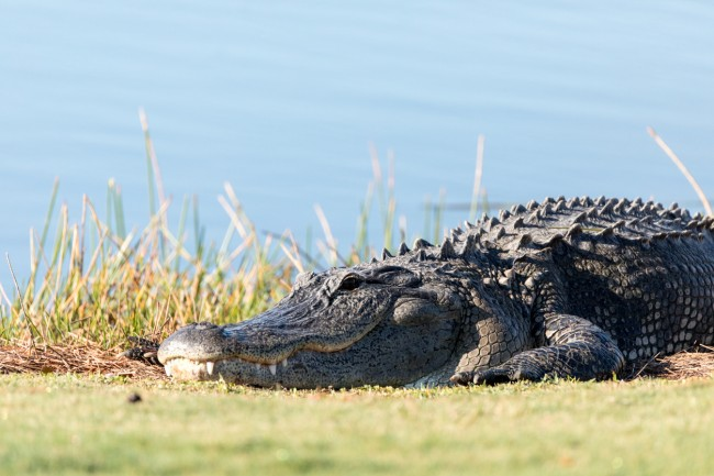 75-year-old Florida man saves dog from alligator attack by kicked 7-foot gator in the snout