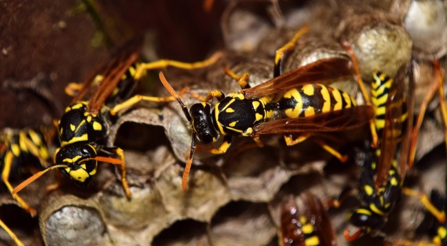 Wasps Yellow Jackets Are Now Forming Massive Super Nests Why