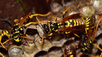 Wasps Are Now Creating Terrifying, Car-Sized 'Super Nests' In Their Latest Effort To Become Our New Overlords