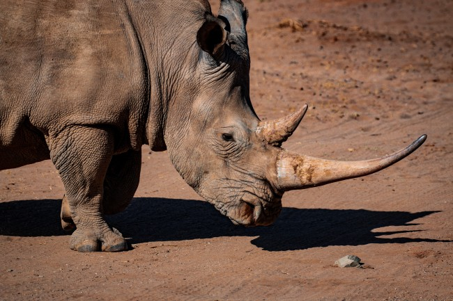 VIDEO: Angry Rhino Goes Ballistic And Flips Car With Zookeeper Inside –  BroBible