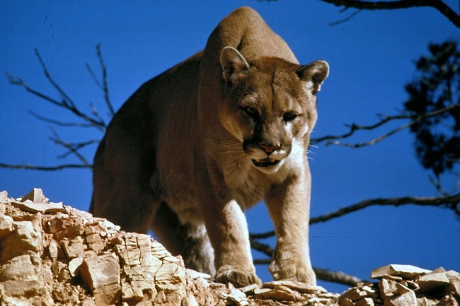 Utah Man Goes Viral For His Terrifying Six-Minute-Long Showdown With A Cougar While On A Hike